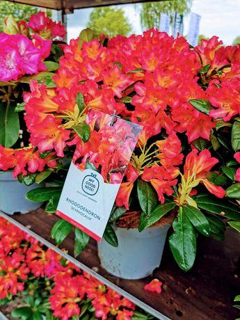 Różanecznik rododendron mix odmian 40-50cm w pojemniku #sklep KALINOWA