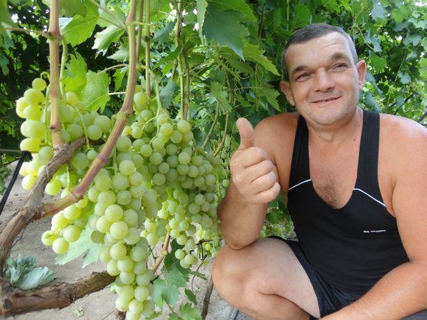 Продаем саженцы и черенки винограда