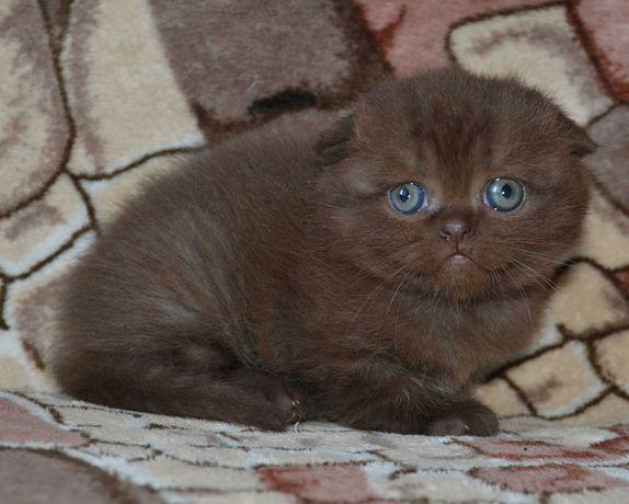 Шоколадный шотландский котик. Киев