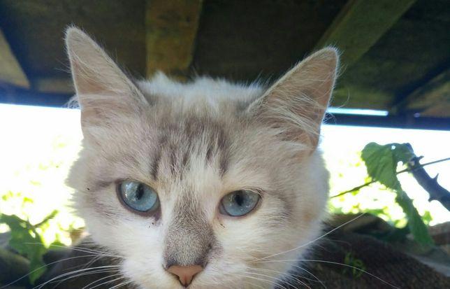 Кошечка с голубыми глазами, кішка, киця кицюня з блакитними очима