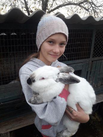 Кролики-каліфорнійці