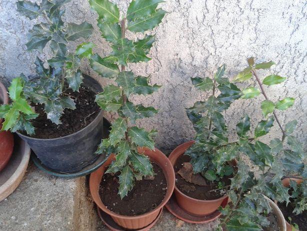 Azevinhos em vasos ( 2 - 3 anos ~20cm altura)