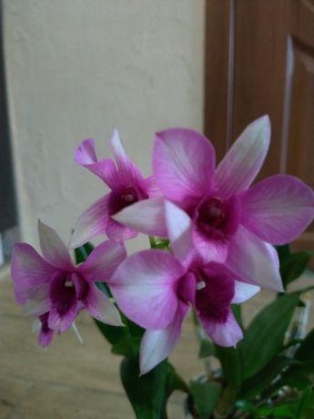 Отростки орхидеи дендрофаленопсис