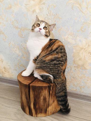 Шотландские котята из питомника