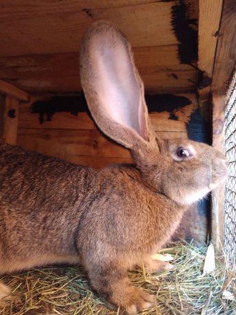 Кролі бельгійський велетень,фландр