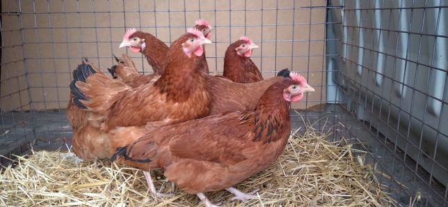Kury Nioski Rosa 21 tygodni z jajkiem! WYSYŁKA