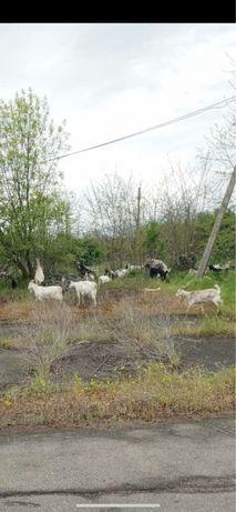 Продам коз на мясо