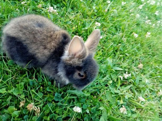 Zwierzę królik miniaturka