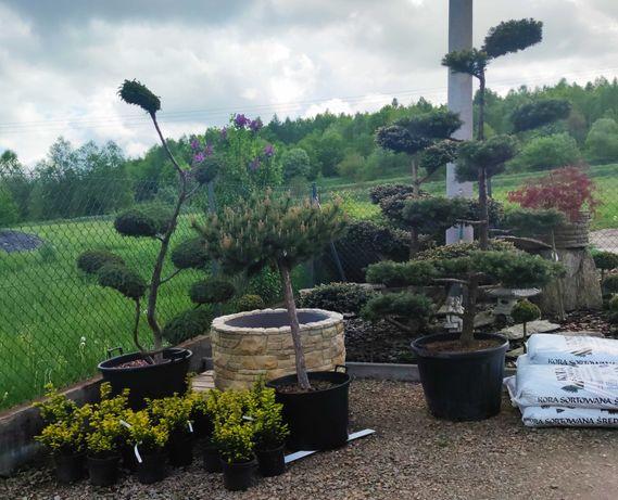 bonsai niwak formowane 1000zl do 2500zł
