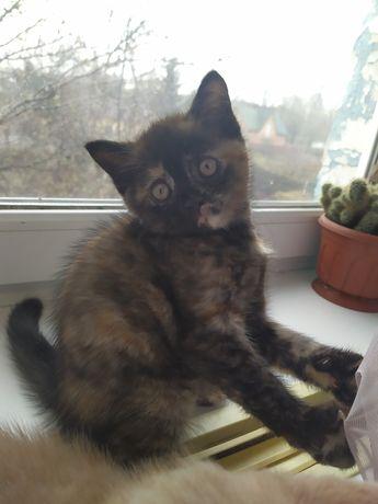Красивые британские котятки