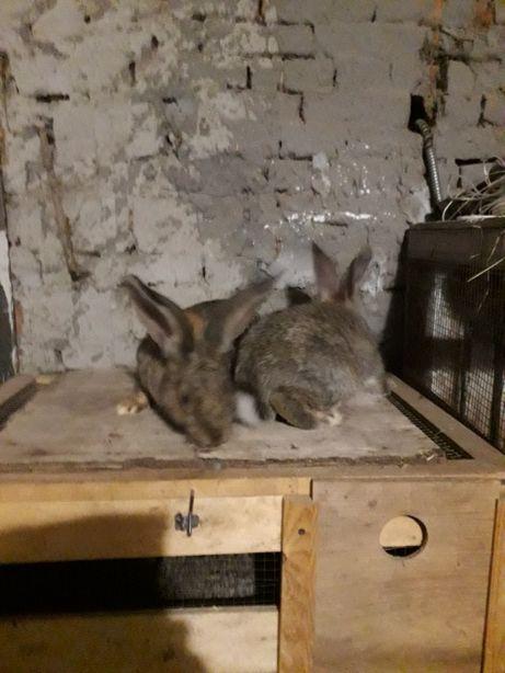 Продам кролика 4.5місяців