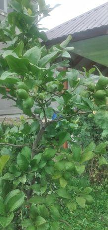 Продам Лимон сорт салернітано,та кож саджанці інших цитрусів