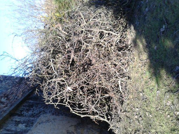Bardzo dużo gałęzi oddam