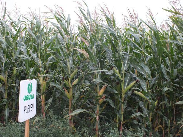 Nasiona kukurydzy kukurydza PLEVEN kiszonka ziarno FAO 25