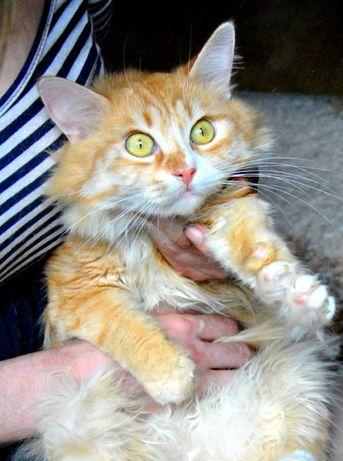 отдам рыжего кота, кастрирован, нежный, ласковый
