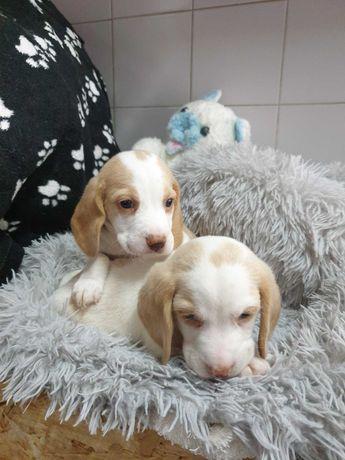 Fofura de Beagle