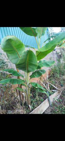 Bananeira em vaso