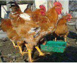 якісне інкубаційне яйце, кури Фоксі-Чік