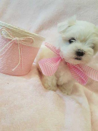 Piękne Mini Pieski Maltańczyki z rodowodem.