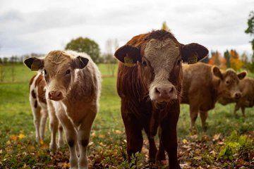 Warka mięsne byczki i jałóweczki