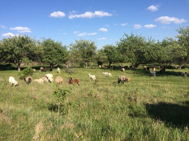 Продам овец и коз