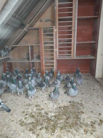 Sprzedam Gołębie Pocztowe!