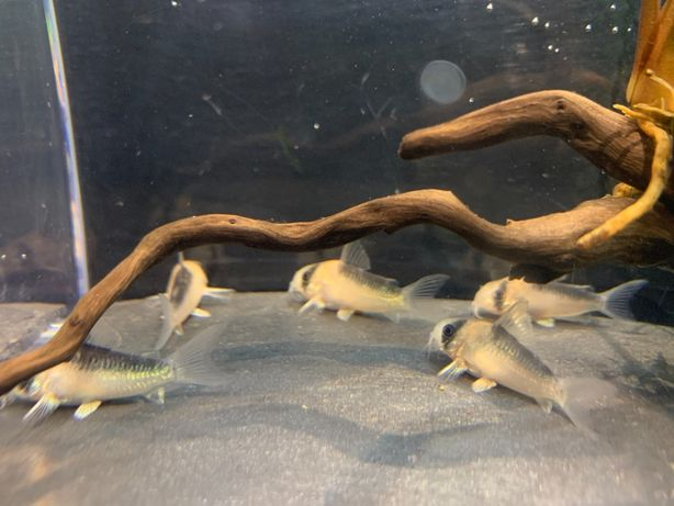 Kirys Kirysek Duplicareus Ciemnogrzbiety Corydoras duplicareus