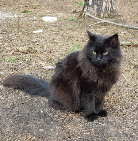 Чорний Кіт Загубився, Шукаємо, Винагорода!
