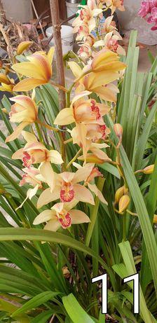 Bolbos de Orquídeas