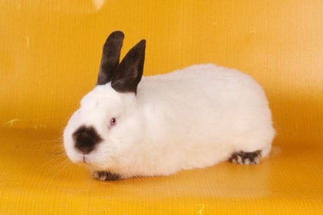 Króliki kalifornijski królik