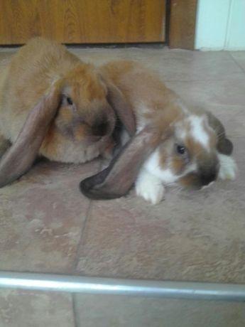 Продам кролики французского барана