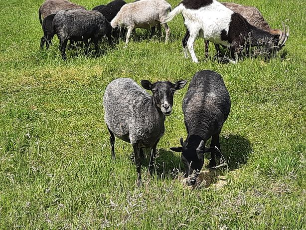 Stado owiec wrzosówek