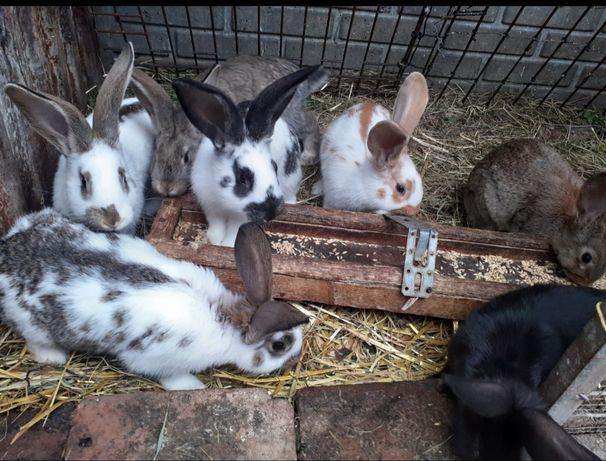 Młode króliczki rasowe