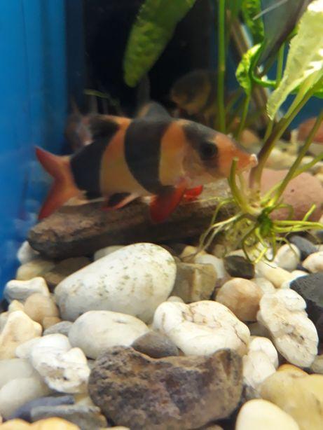 Bocja wspaniała ryba