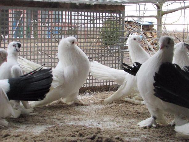 nowoczerkaski czarnoogoniasty, nowoczerkaskie, gołębie ozdobne
