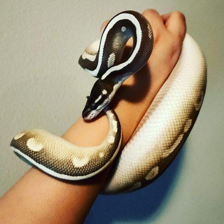 Wąż królewski samiec