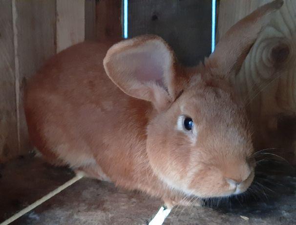 Кролі вязка кроля бургундця