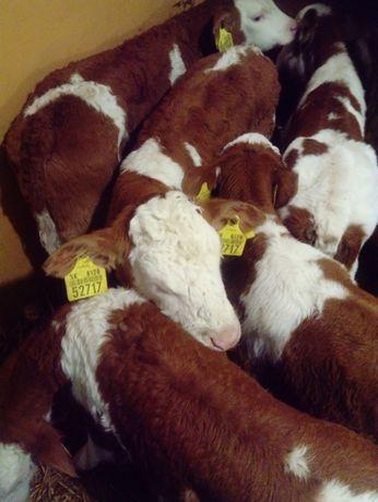 Sprzedaż cieląt, byczki, jałówki, BBB, SM