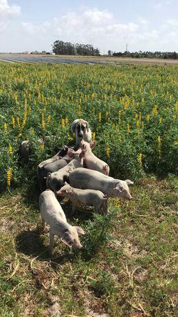 Porcos com 6 meses