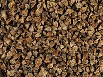 Gryka - nasiona na poplon biomasę zielonkę dla pszczół