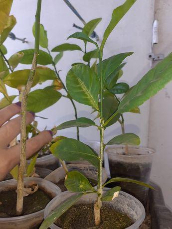 Лимон плодоносящий ,ростки