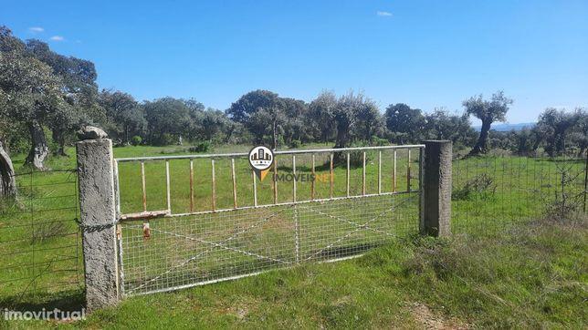 Terreno Rústico com olival, venda, Mata, Castelo Branco