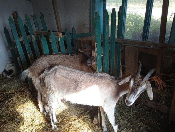Продам кози на м'ясо або на тримання!