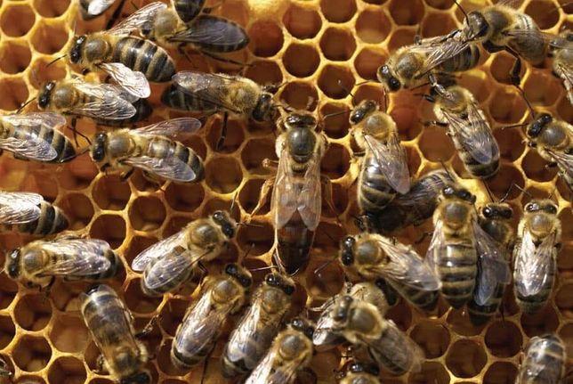 Matki pszczele unasiennione dostepne od reki