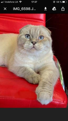 Шотландский вислоухий котик вязка