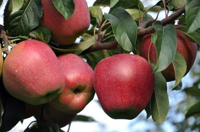 Саженцы плодовых деревьев яблоня груша орех