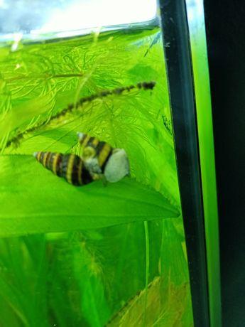 Ślimak Helena zabójca ślimaków