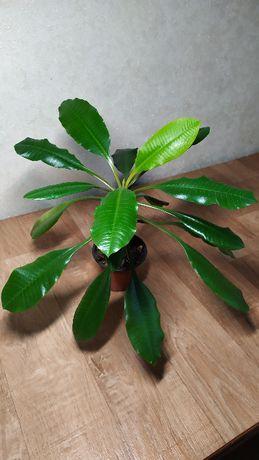 Комнатное растение Молочай