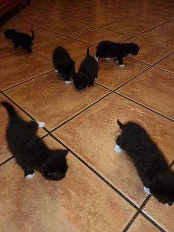 Oddam Kotki śliczne czarne w dobre troskliwe ręce.