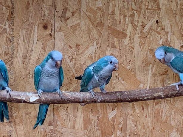 Калита монахи квакер , голубого окраса